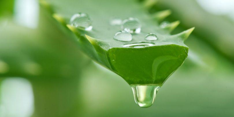 Benefícios do Aloe Vera - Planta Aloe Vera